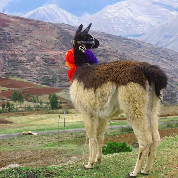 Lama in Südamerika - Alpakas am Rennsteig, Thüringer Wald